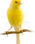 etcguy swedish canary